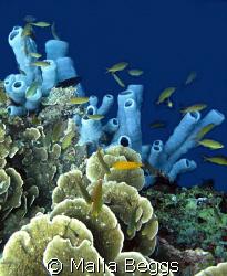 """Brilliant Blue Sponge"".  Natural color of sponge at deep... by Malia Beggs"