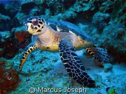 HAWKSBILL TURTLE (Eretmochelys Imbriocota) This species ... by Marcus Joseph