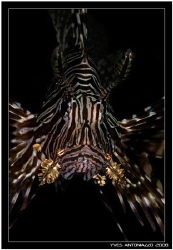 Lionfish portrait    Fuji S5 pro/105 VR by Yves Antoniazzo