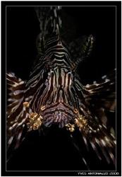 Lionfish portrait    Fuji S5 pro/105 VR by Yves Antoniazzo