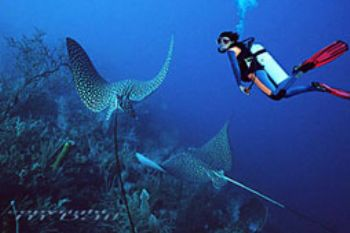 Belize - 2 eaglerays - COMPOSING > diver - Nik. V by Manfred Bail