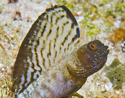 Sailfin Blenny (Emblemaria pandionis). Sailfins are not r... by Jim Chambers