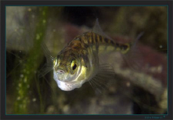 Three-spined stickleback, (Gasterosteus aculeatus) to me ... by Sven Tramaux