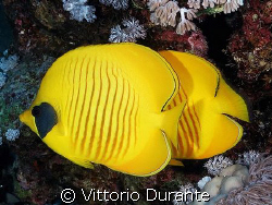A couple of Chaetodon in Ras Mohammed Park by Vittorio Durante
