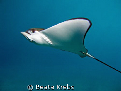 Eagle Ray passing by , Canon S70 by Beate Krebs