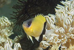 Portrait of a little Blackbar Chromis (Chromis retrofasci... by Jim Chambers