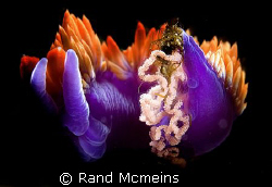Spanish Shawl laying eggs. Look closely and you can see a... by Rand Mcmeins
