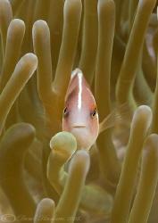 Pink anemonefish. Lembeh straits. D200, 60mm. by Derek Haslam