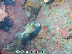 Trunk Fish begging for his picure to be taken by Diana Green