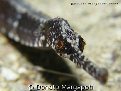 Pipe fish, Canon G9 by Donato Margapoti
