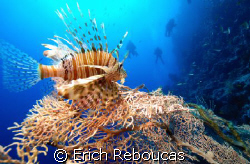Lionfish with divers on the back in Ras Umm Sid, Sharm. ... by Erich Reboucas