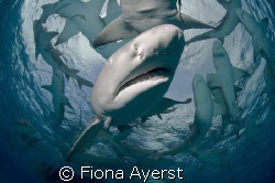 A group of very curious lemon sharks by Fiona Ayerst