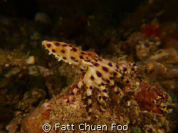 Tiny but lethal. Blue Ringed Octopus, Lembeh, North Sulawesi by Fatt Chuen Foo