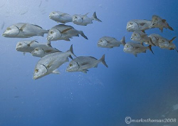 Shoal of fish.