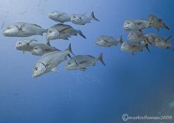 Shoal of fish. Wolf Island, Galapagos. 10.5mm. by Mark Thomas