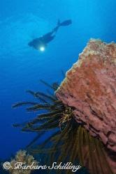 Tiny Spider Crab on a huge barrel sponge by Barbara Schilling