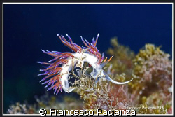 Cratena Peregrina. Tkae with Nikon D60 in Easydive housin... by Francesco Pacienza