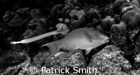 Parrot  fish with trumpet fish in tow on Angle City Reef ... by Patrick Smith