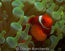 Spine-Cheek Anemone Fish in Bubble Anemone. by Dorian Borcherds