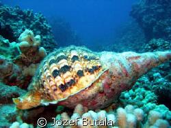 Triton trumpet snail shell,Ulua beach,Maui by Jozef Butala