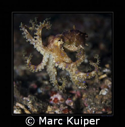 a free swimming blue-ringed octopus in lembeh strait. by Marc Kuiper