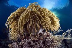Hairy soft coral at Sangalaki island. by Erika Antoniazzo