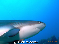 Shark dive, Roatan Honduras by Allen Weaver