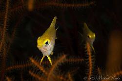 Medium Golden Damsel (Amblyglyphidodon aureus) taken with... by Michael Henke