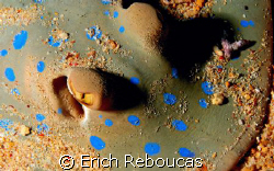 Bluespotted Stingray in party mode. Covered with colorful... by Erich Reboucas