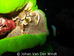 Anemone Crab taken on Similan Island #4. Using Canon Ixus... by Johan Van Der Windt