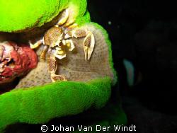 Anemone Crab taken on Similan Island #4. Using Canon Ixus... by Johan Van Der Windt