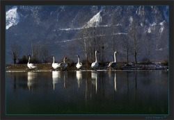 A swan family resting on the frozen pond by Sven Tramaux