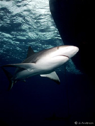Yes - another Caribbean Reef Shark, I think he was still ... by Steven Anderson