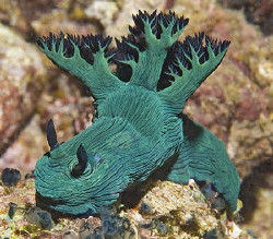 Nembrotha milleri grazing on ascidians in the South China... by Jim Chambers