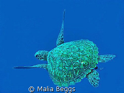 """Peacefully Gliding Green Sea Turtle""  Pescador Island, C... by Malia Beggs"