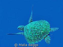 """Peacefully Gliding Green Sea Turtle""  Pescador Island, C... by Malia Beggs"