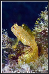 Beautyfull Gold Blennius that's waiting for...