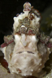 A Warty or Clown Frog fish in Leyte . Casio Exilim by Andrew Macleod