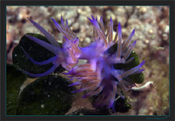 Flabellina affinis by Sven Tramaux