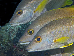 Schoolmaster Snapper (Lutjanus apodus) in the Cayman Isla... by Jim Chambers