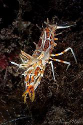 Phyllognathia ceratophthalmus - Tiger Shrimp by Michael Henke