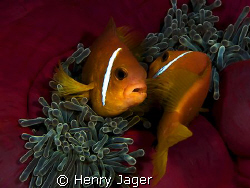 """""""MATING DANCE"""" seen in the Maldives, Dhuni Kolhu. (E-3, f... by Henry Jager"""