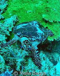 This Hawksbill turtle was not timid when it came to food.... by Malia Beggs