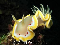 Glossodoris cruenta. A great find in the last few minutes... by Chad Ordelheide