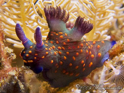 Nembrotha yonowae nudibranch at Sangean Island, Komodo (C... by Marco Waagmeester