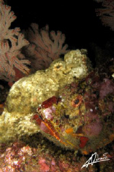 Two Devil Scorpion Fish side by side but facing different... by Adriano Trapani