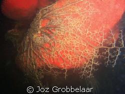 Basket star enjoy the comfort of a nice red spunge coral ... by Joz Grobbelaar