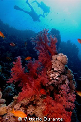A branch of soft coral and divers at Jackson Reef by Vittorio Durante