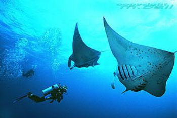 red sea - manta rays - Nik. F90 in Subal by Manfred Bail