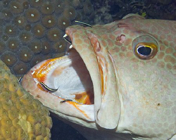 Tiger Grouper being cleaned by Cleaner Gobies on Little C... by Deborah Chambers
